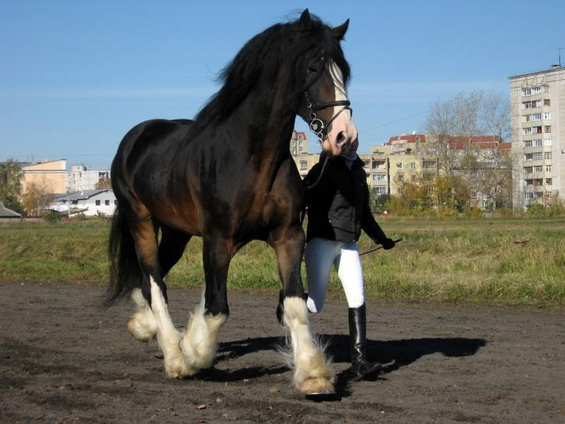 ᐉ большие лошади: самые крупные породы в мире, лошади-рекордсмены - zooon.ru