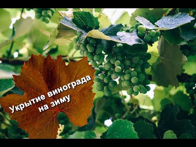 Правила укрытия винограда на зиму в Сибири