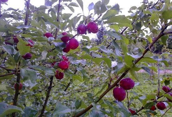 Описание сорта яблони китайка золотая: фото яблок, важные характеристики, урожайность с дерева