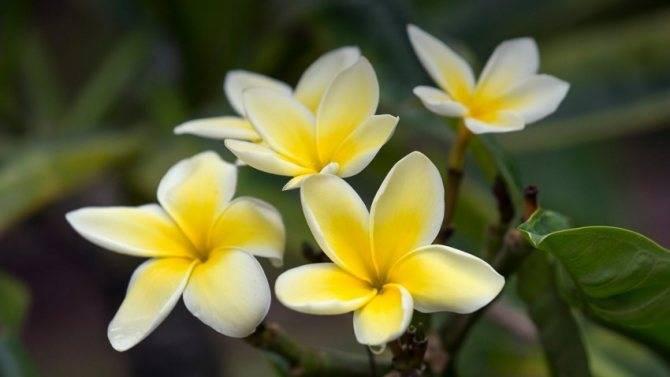 Плюмерия: уход в домашних условиях, выращивание из семян, черенкование