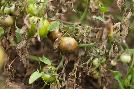 Обработка винограда препаратом ридомил голд мц, инструкция по применению