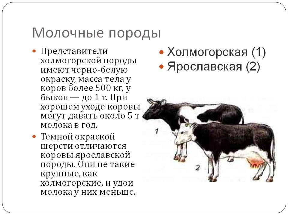 Холмогорская порода коров: что из себя представляет, правила ухода