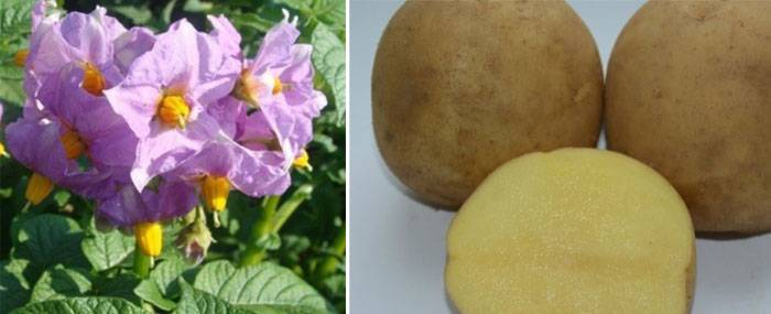 Картофель уладар: описание сорта, фото, отзывы, вкусовые качества