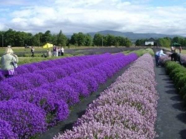 Иссоп: посадка и уход, особенности выращивания из семян, лечебные свойства и применение в кулинарии