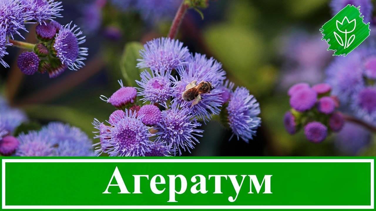 Агератум: выращивание из семян, когда сажать, фото сортов и названия