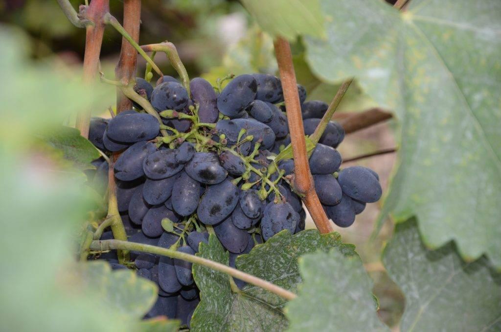 Виноград краса никополя: описание сорта, фото, отзывы