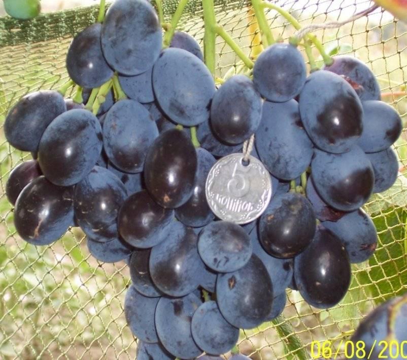 Черный виноград: топ-10 популярных сортов, описание, фото