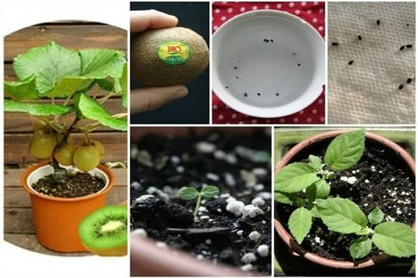 Как из семян вырастить плодоносящее киви на окне: посадка и уход