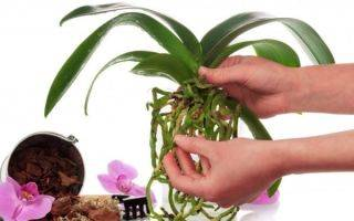 Применение грунта серамис для орхидей
