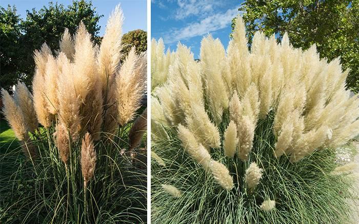 ✅ пампасная трава или кортадерия: описание, посадка и уход в открытом грунте - tehnomir32.ru