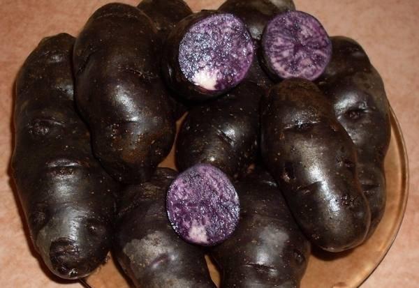 Фиолетовый картофель: сорта, имеющие яркую окраску, их описание и фото русский фермер