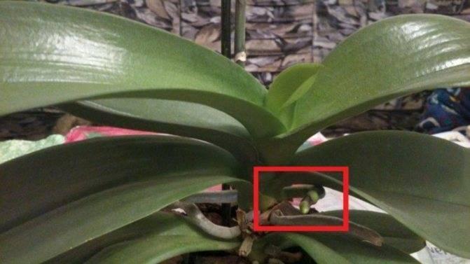 Что делать если орхидея выпустила цветонос