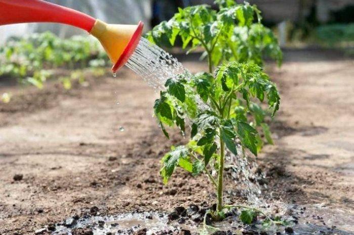 Что можно, а что нельзя сажать после томатов?