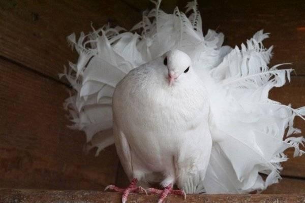 Разведение голубей в домашних условиях - советы и рекомендации как правильно выращивать голубей (105 фото)