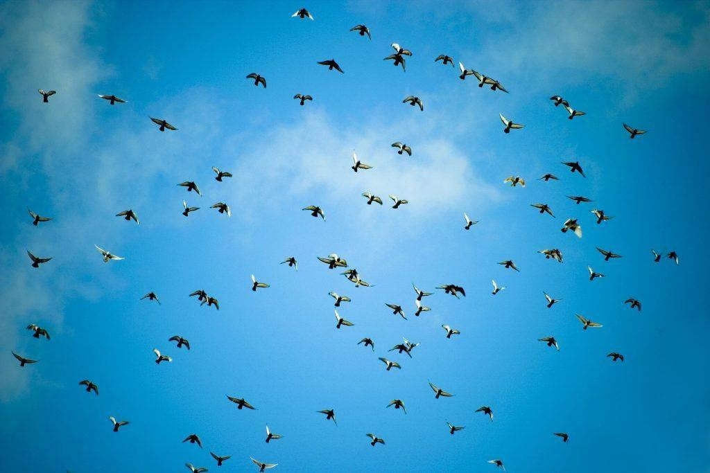 Высоколётные голуби: описание пермской, свердловской и николаевской пород