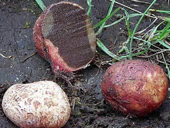 Грибоводство в россии - выращивание трюфелей в домашних условиях | cельхозпортал