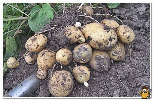 Описание сорта картофеля романо — особенности выращивания