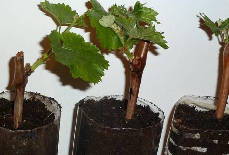 Посадка винограда весной: как правильно посадить виноград саженцами или виноградной лозой в средней полосе, пошаговая инструкция, сроки посадки