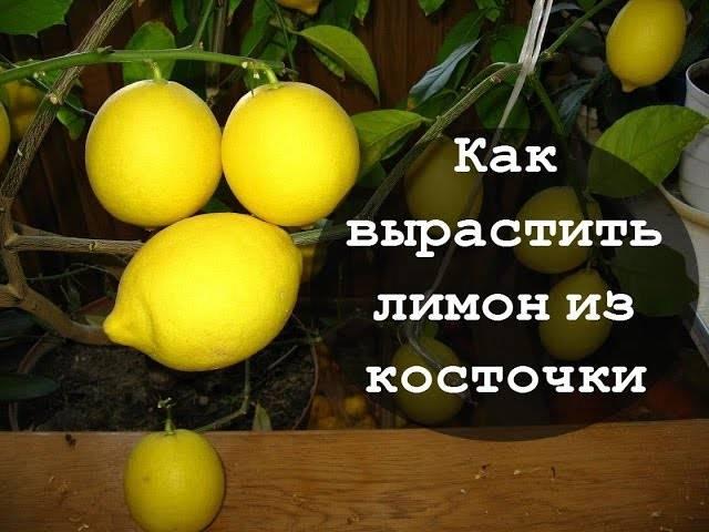 Как вырастить лимон в домашних условиях, сорта с фото
