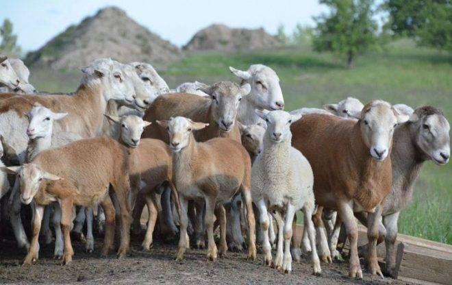 ᐉ катумская порода овец: описание и характеристика - zooon.ru