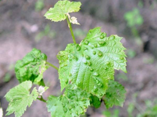 Виноград «рута»: описание сорта, фото и отзывы. основные плюсы и минусы, срок хранения урожая, аналоги, характеристики и особенности выращивания в регионах