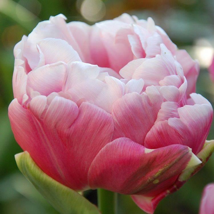 Все о тюльпанах: описание, виды и выращивание
