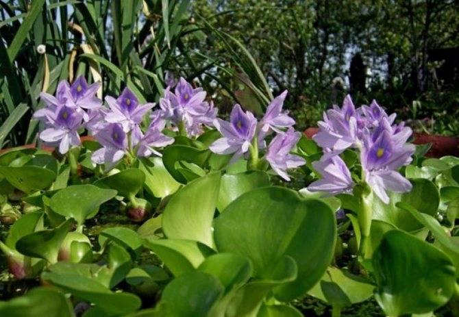 Эйхорния — водяной гиацинт, фото
