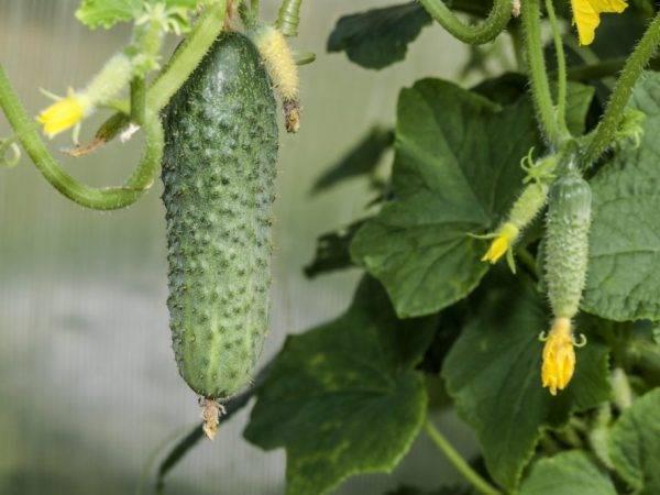 Огурец мэлс f1 особенности выращивания - дневник садовода semena-zdes.ru