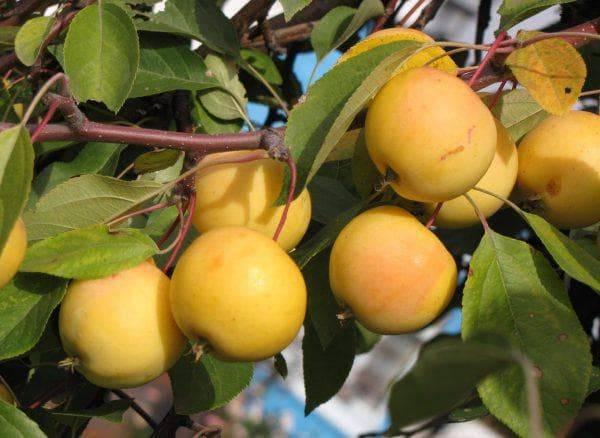 Яблоня уральское розовое описание фото отзывы - аграрный журнал