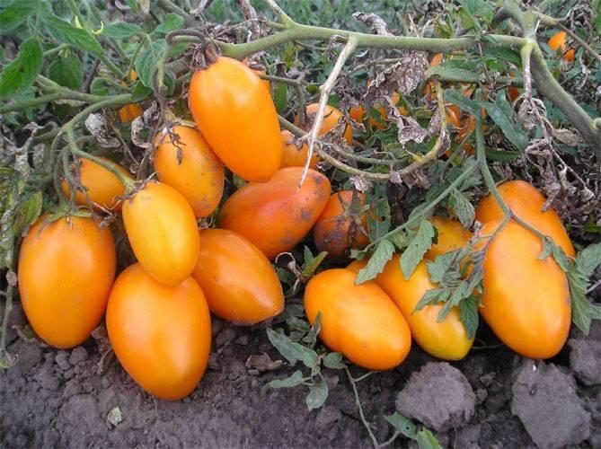Характеристики сорта томат «кёнигсберг». отзывы садоводов. фото урожайности