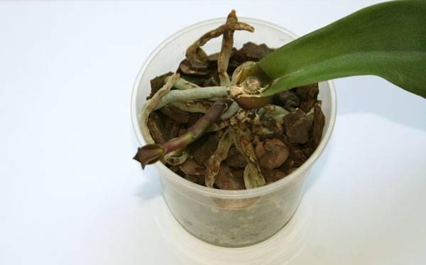 Как спасти орхидею без листьев, но с корнями? размножение цветка с помощью корней. как можно реанимировать орхидею в домашних условиях?