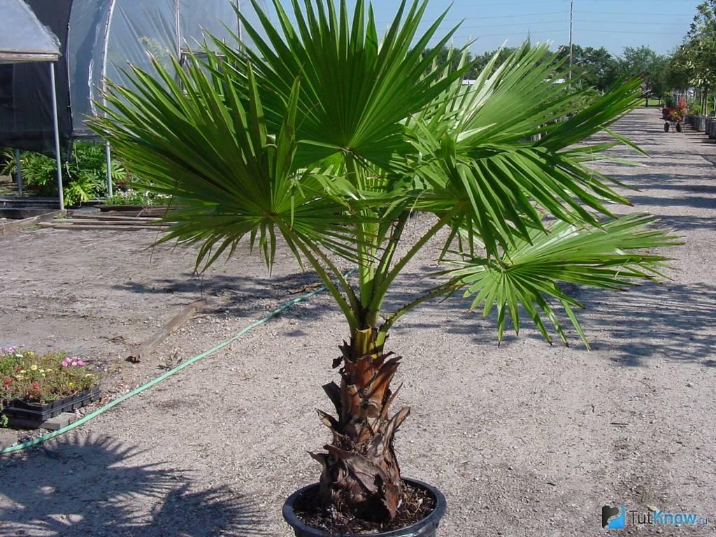 Пальма вашингтония: уход в домашних условиях, разновидности для комнатного выращивания