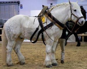 Лошадь першерон: описание породы, фото, особенности содержания