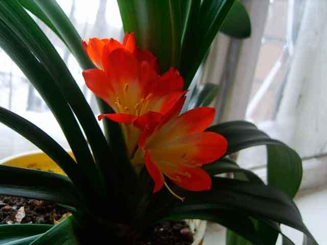 Кливия в домашних условиях: неприхотливая красавица на вашем окне