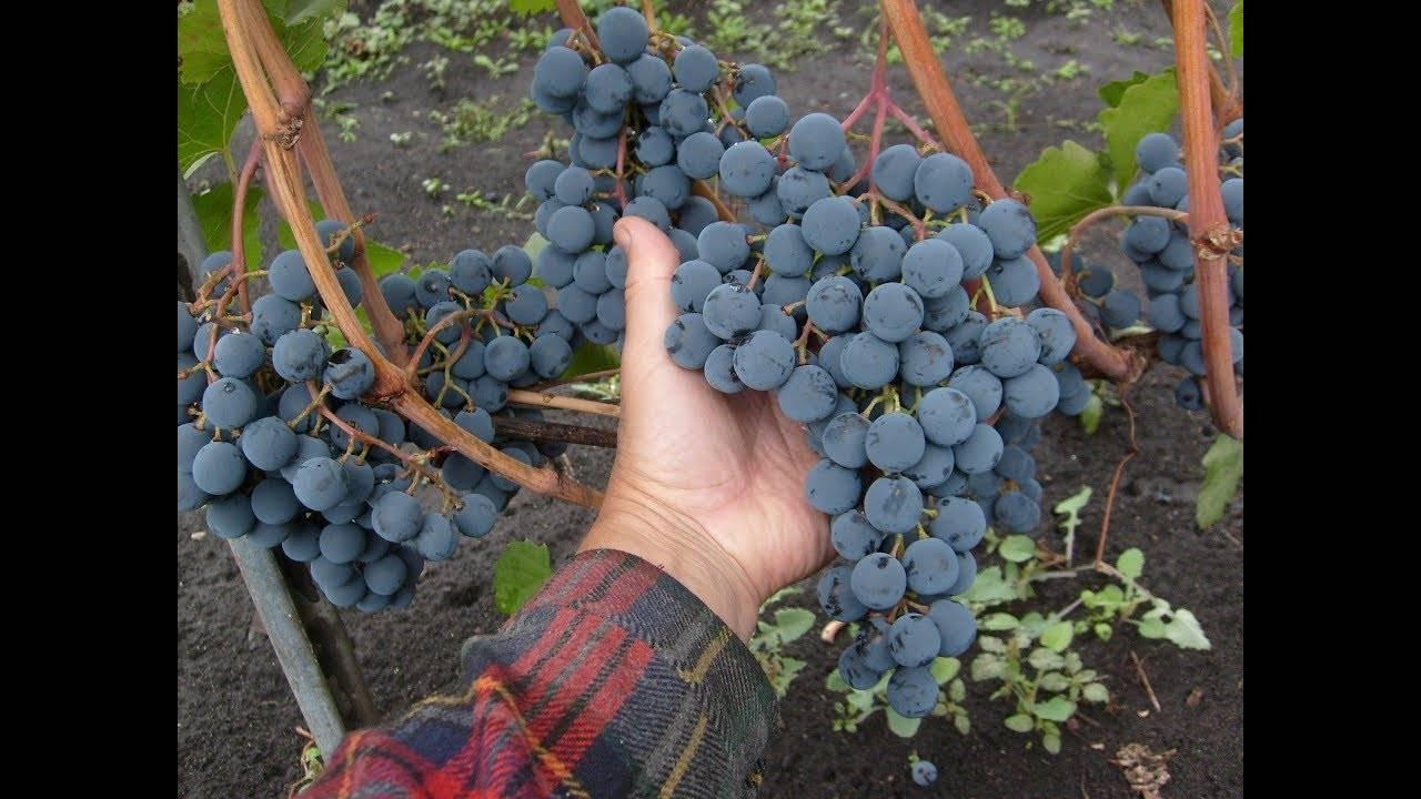 Виноград московский безукрывной: описание сорта, фото