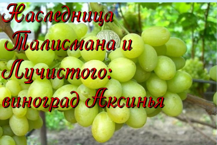 Виноград шахтер описание сорта фото отзывы видео