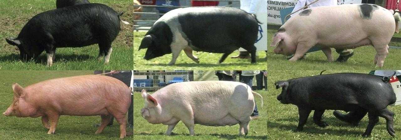 Описание и характеристики свиней миргородской породы, особенности содержания