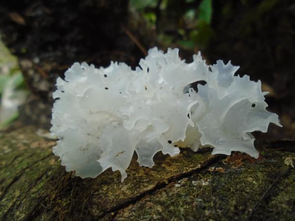 Ледяной гриб и его полезные свойства