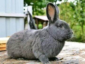 Венский голубой кролик - красивая, продуктивная порода