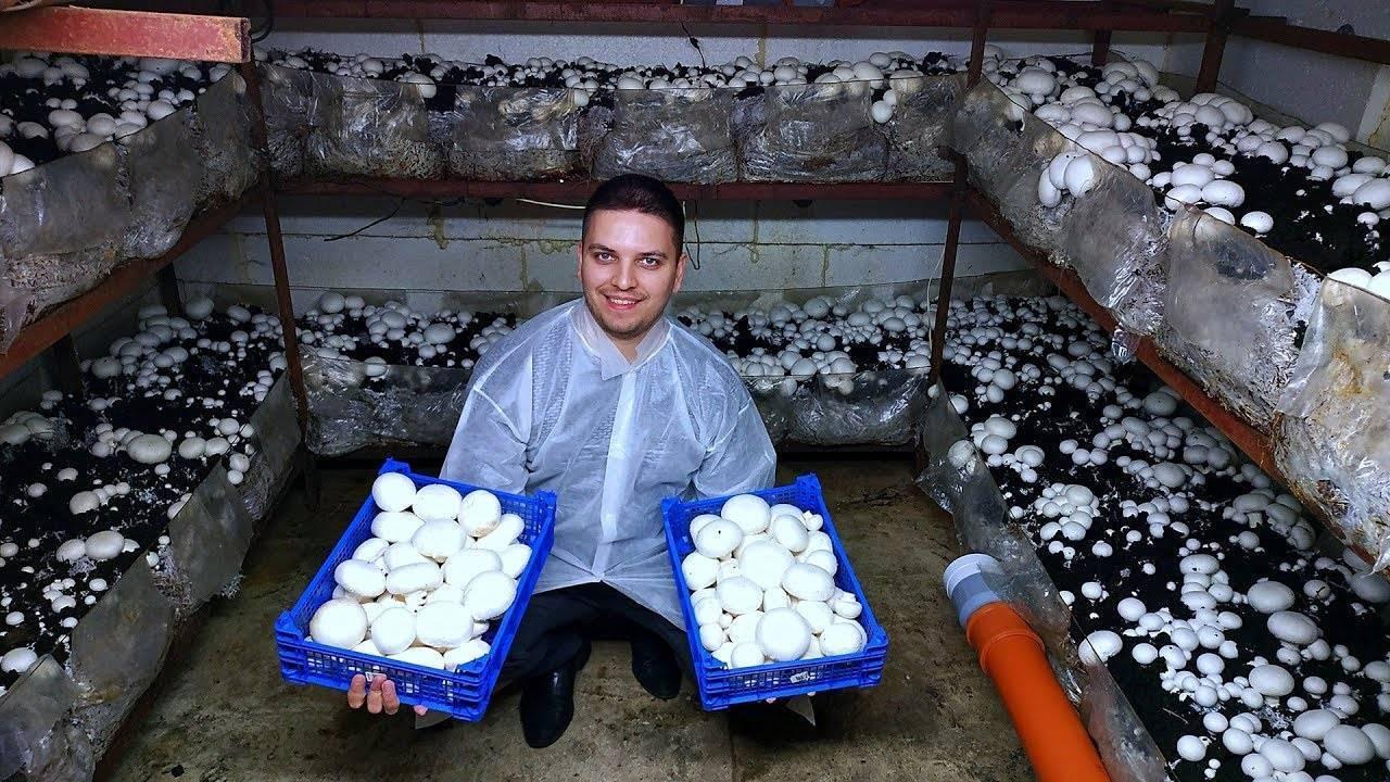 Промышленное разведение и выращивание белых грибов в домашних условиях как бизнес: технология, где купить мицелий и активированные споры