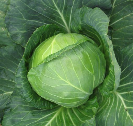 Все о ранних сортах капусты: от названия до сбора урожая