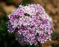 Флокс друммонда: выращивание из семян, когда сажать