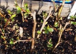 Айва японская: описание кустарника, выращивание, в том числе в домашних условиях, уход и обрезка