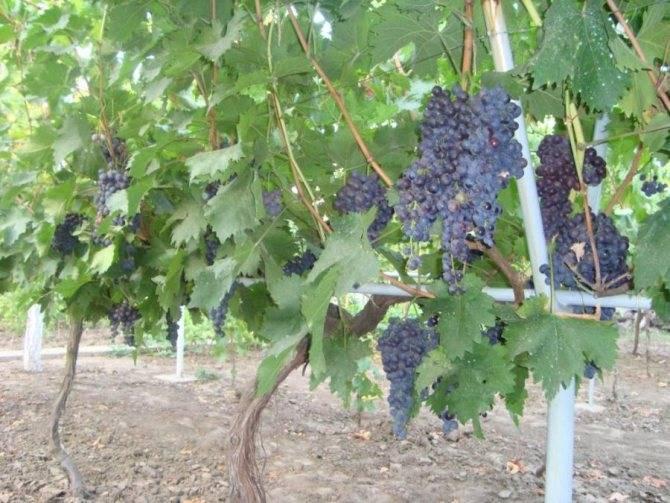 Мускатные сорта винограда с описанием и фото