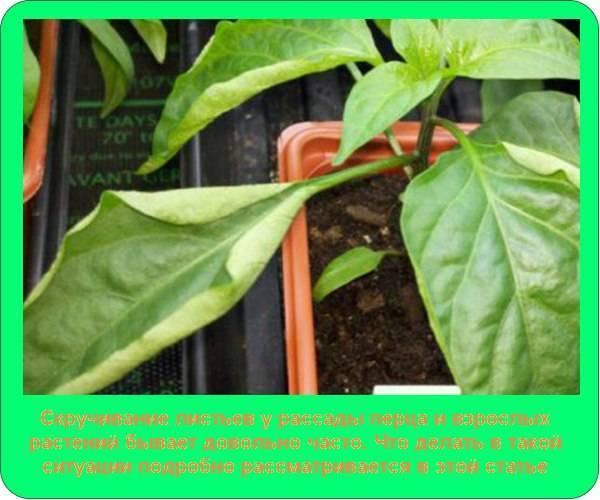 Почему у перца скручиваются листья