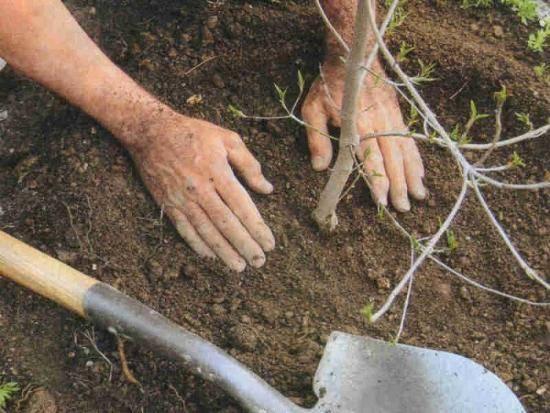 ✅ вишня кармин джуэл: описание и характеристики сорта, посадка и уход, размножение, фото - tehnoyug.com
