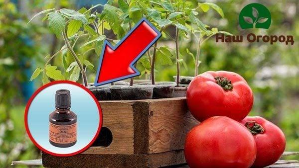 Внекорневая подкормка томатов зольным раствором: чем полезен зольный раствор для подкормки растений и какая зола подходит