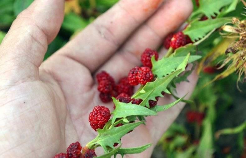 Выращивание земляничного шпината. способы посадки - высев семян, высадка рассады. уход. сбор урожая. вкусовые свойства, качества. малинный, жминда, многоликая марья