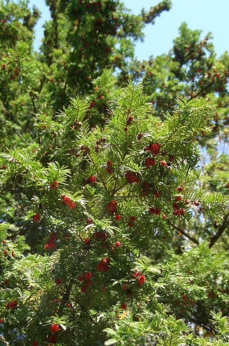 Тис ягодный: описание и фото