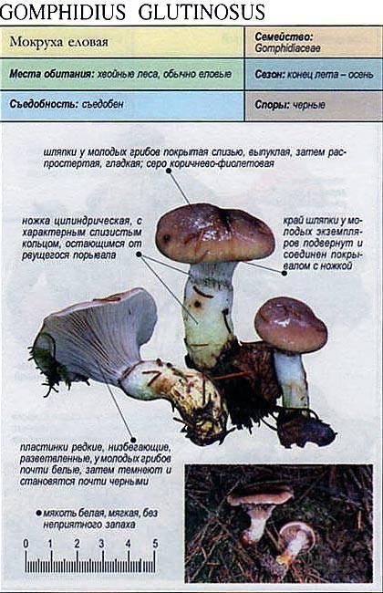 Мокруха еловая — описание, где растет, ядовитость гриба